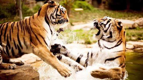 Tigers Playing Wallpapers   HD Wallpapers   ID #10354