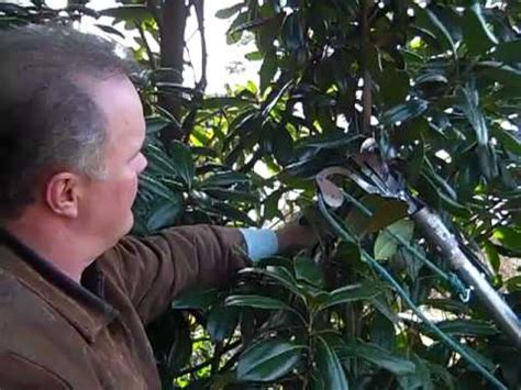 How to Prune Magnolias - YouTube